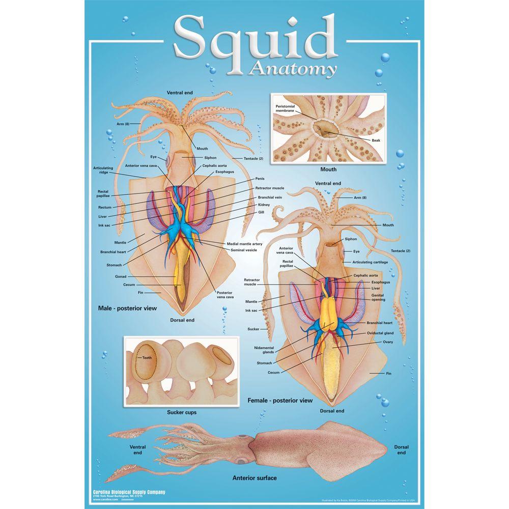 squid anatomy poster carolina com