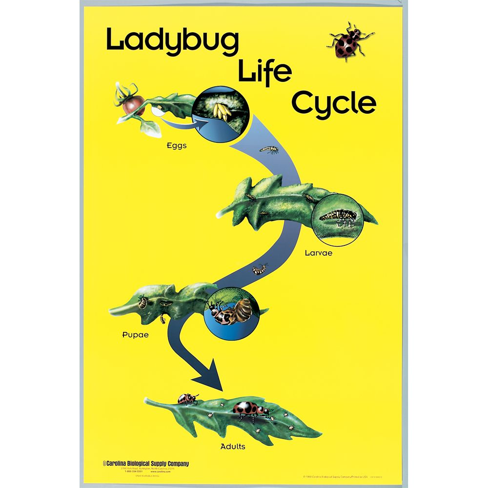 ladybug life cycle poster carolina com