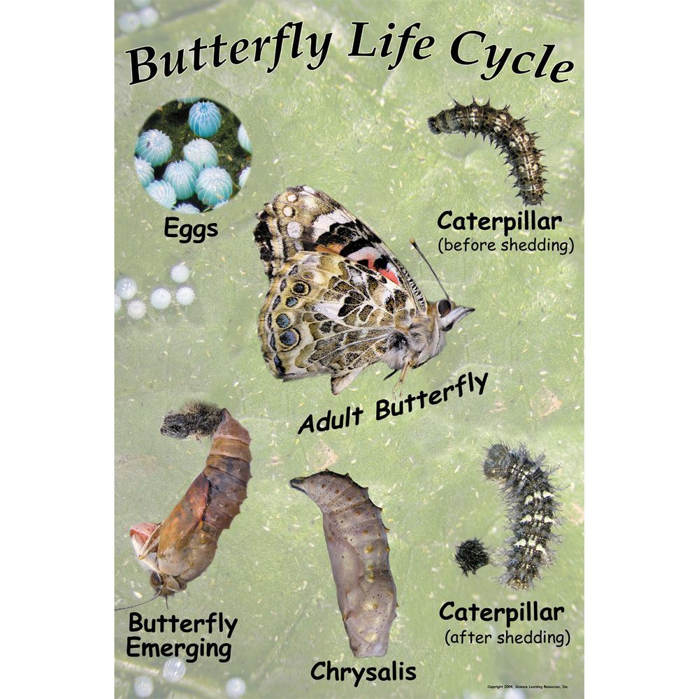 Painted Lady Butterfly Life Cycle Chart  Carolinacom
