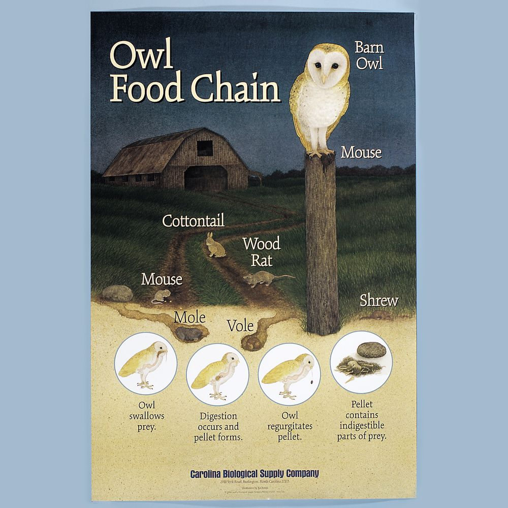 Owl food chain poster for Food bar owl