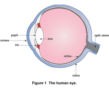 Optics of the human eye carolina consider the ray diagram in fig 2 which is for a double convex lens the left arrow represents an object such as a building or a tree ccuart Choice Image