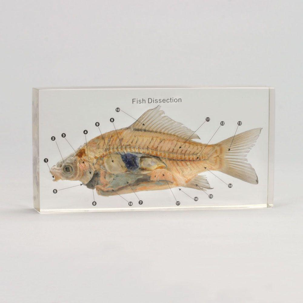 Fish Dissection Plastomount | Carolina.com