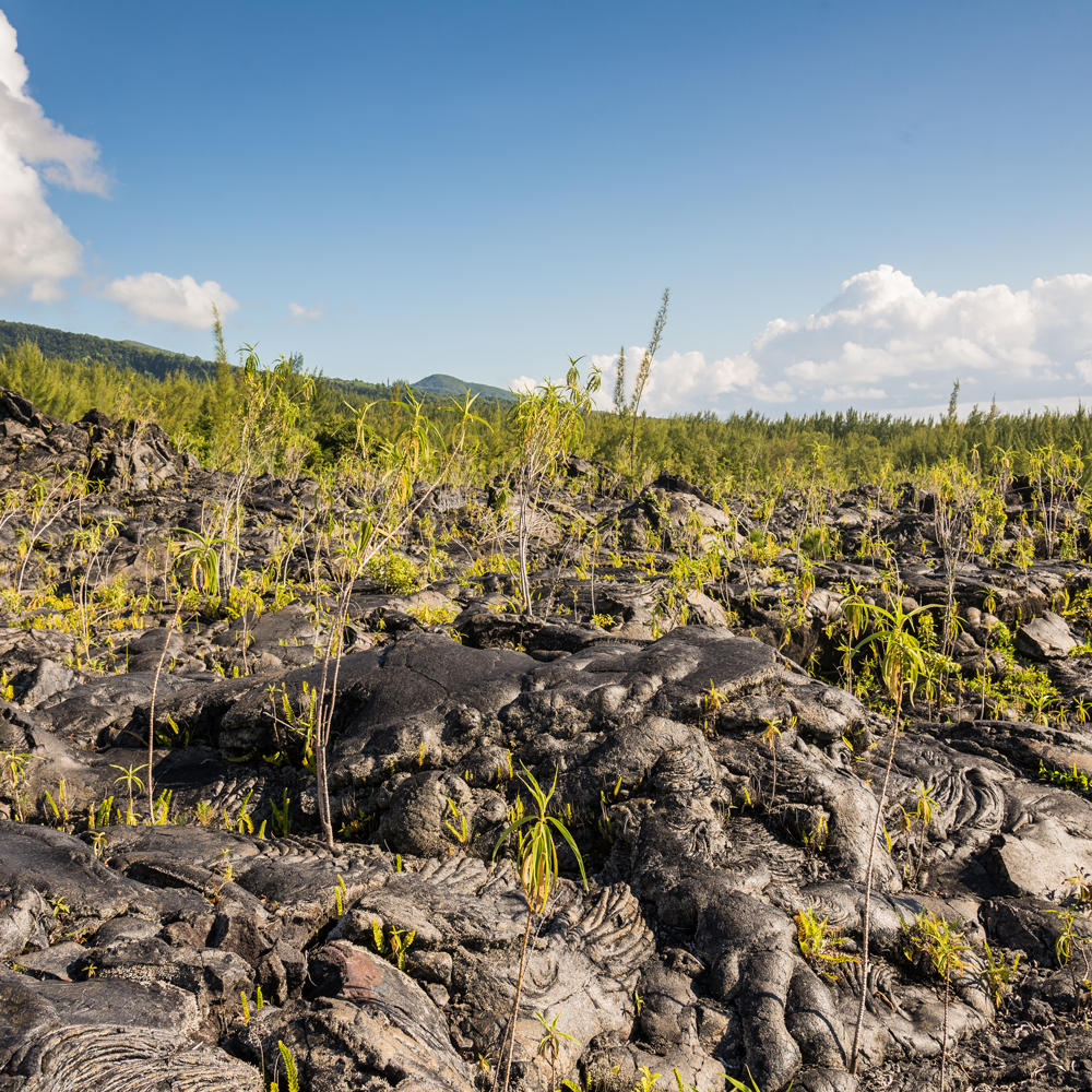 ecological succession on lava field