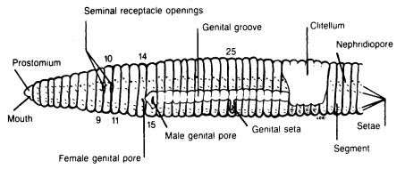 earthworm dissection, external anatomy diagram