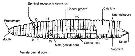 earthworm dissection, external anatomy diagram
