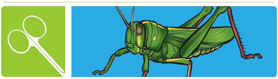 Grasshopper Dissection | Carolina com