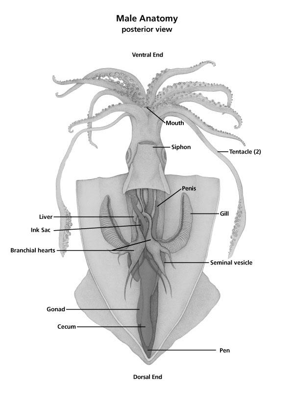 squid dissection internal anatomy