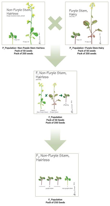 Fast Plants® Seeds: Which Genetic Stock Do I Use? | Carolina com