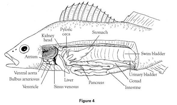 diagram of perch dissection