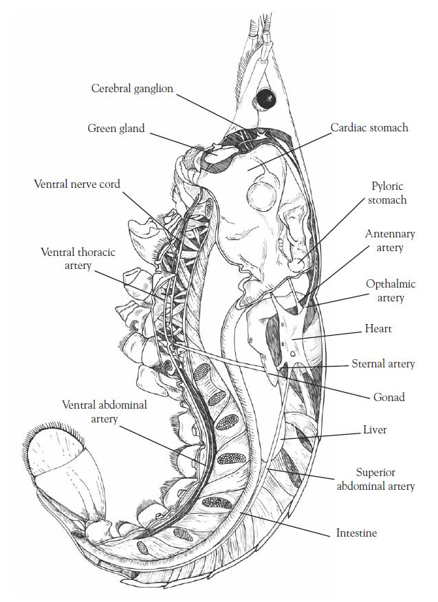 Crayfish internal anatomy