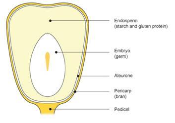 Epigenetics i using carolina corn ears to teach genetic imprinting figure 1 parts of a corn kernel ccuart Images