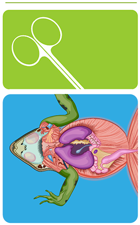 frog dissection carolina S Frog Internal Anatomy below is a brief survey of the internal and external anatomy of the frog for more detailed dissection instructions and information check out carolina