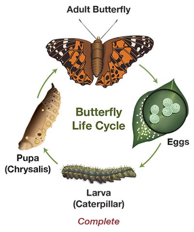 Complete Butterfly Life Cycle