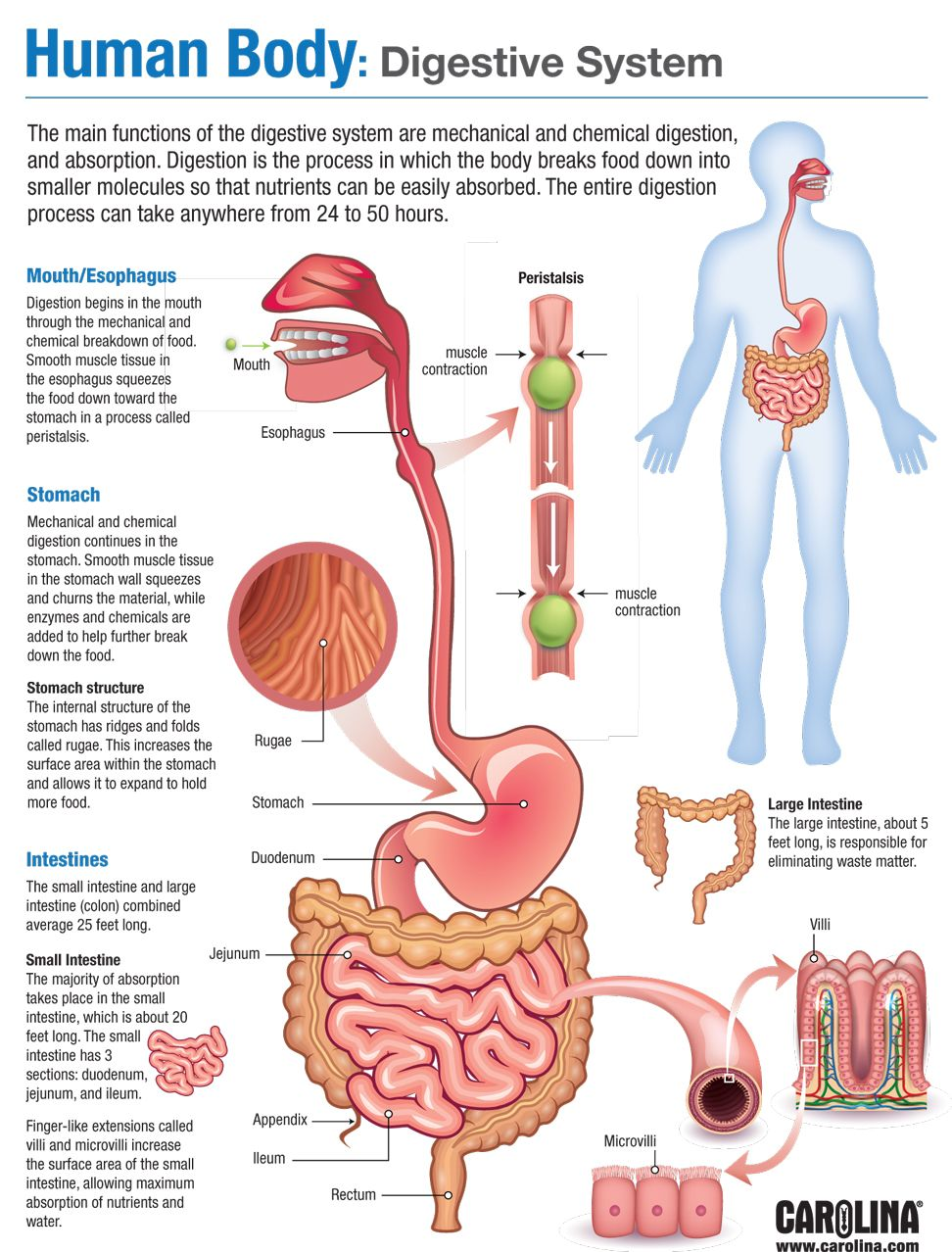 Human body digestive system carolina infographic human body endocrine system ccuart Images