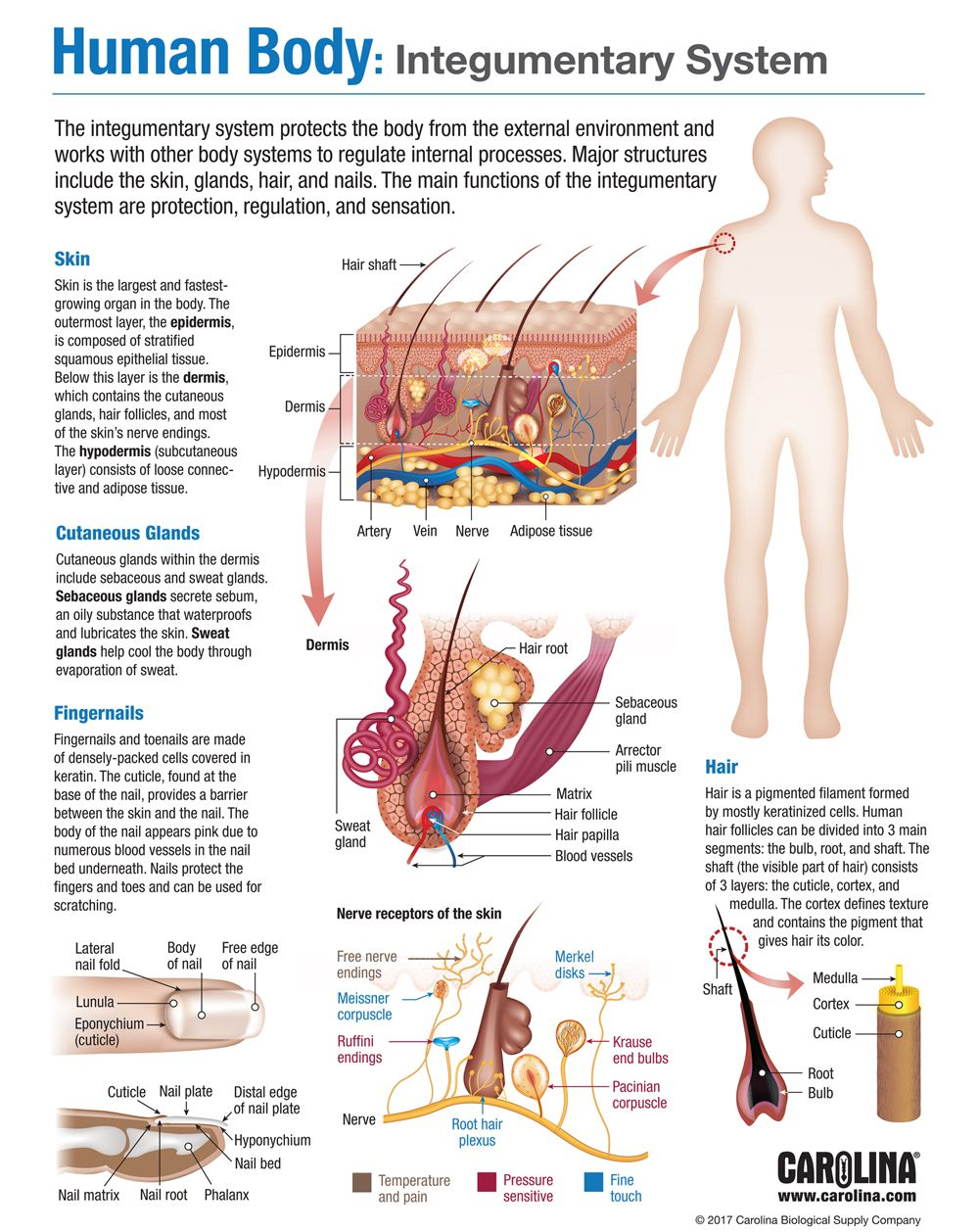 Human Body Integumentary System Carolina