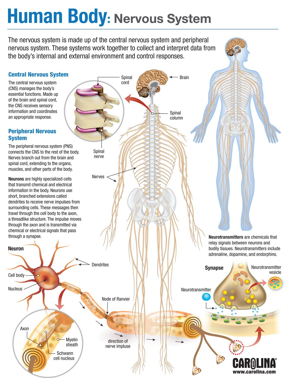 Human Body Nervous System Carolina