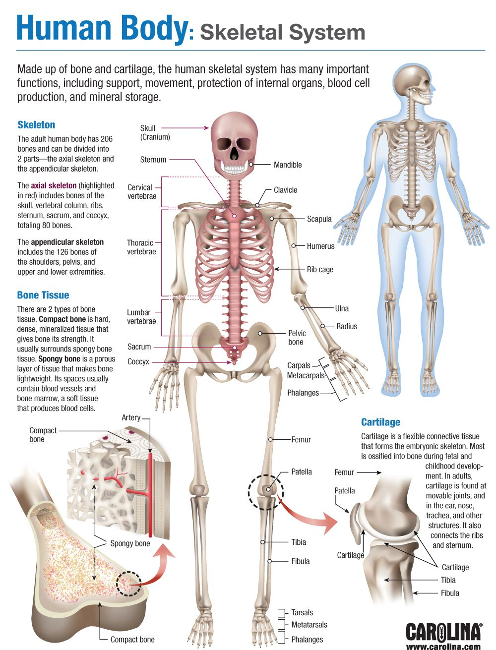 Human body skeletal system carolina infographic human body skeletal system ccuart Image collections