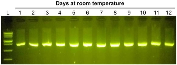 DNA electrophoresis of PCR samples held at room temperature for up to 12 days