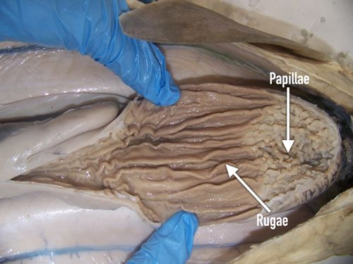The dogfish sharkstructure and function carolina discuss these digestive structures in light of the fact that the shark does not chew its food but instead bites off and swallows large chunks of it fandeluxe Images