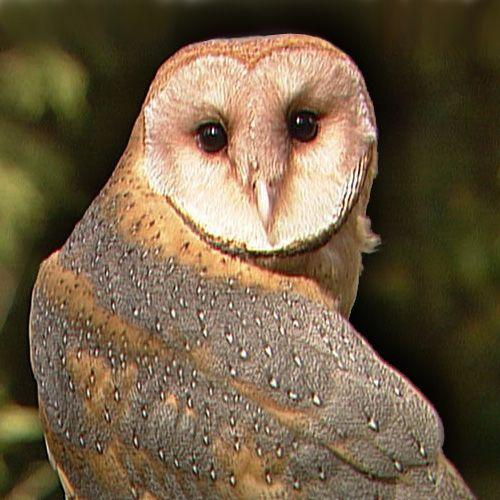 Characteristics and Behavior of Owls   Carolina.com