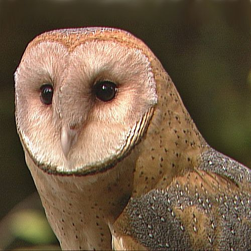 Characteristics and Behavior of Owls | Carolina.com