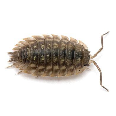 sow bug