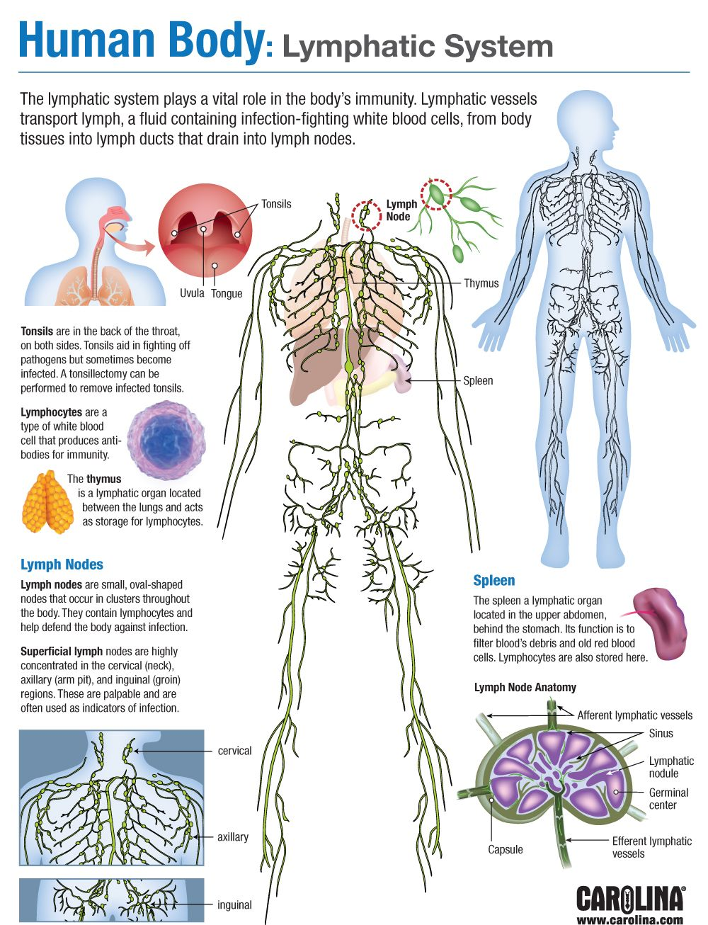 Human Body Lymphatic System Carolina