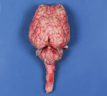 Single Injected Preserved Sheep Brain
