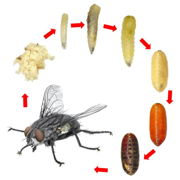 House fly life cycle