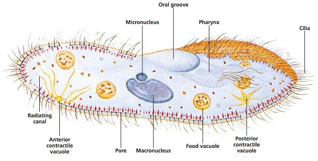 Labeled diagram of paramecium showing cilia, oral groove, vacuoles, macro and micronucleus, and more
