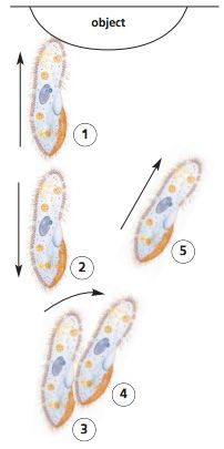 Paramecium moves to avoid an obstacle