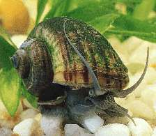 Aquatic snails act as scavengers and window cleaners for the tank system.