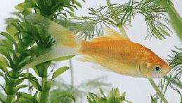The comet goldfilsh is a streamlined, cold-water fish that can exist in any size River Tank system.