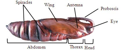 Tobacco Hornworm Pupa Anatomy Diagram