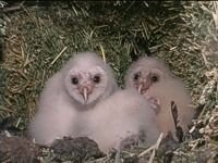 A pair of barn owlets.