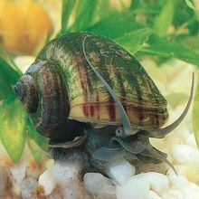 Mystery Snail, Living, Pack of 3