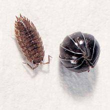 Pill Bugs, Armadillidium, Living, Pack 12