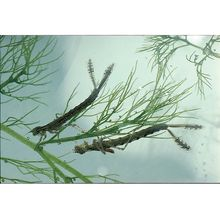Damselfly Nymphs, Living, Pack of 12