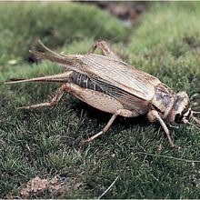 Cricket (Gryllodes sigillatus), Living, Adults, Pack of 12