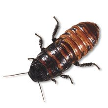 Madagascar Hissing Cockroach, Living, Adults, Pack 3