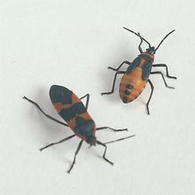 Milkweed Bug (Oncopeltus fasciatus), Living, Life Cycle Assortment