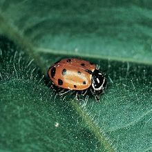 Lady Beetles (Hippodamia convergens), Living, Pack of 25