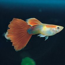 Fancy Guppy, Living, Pack of 3