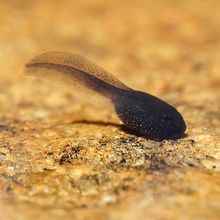Tadpoles, Early Larval Stages, Living, Pack 12
