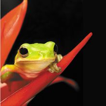 Tree Frog (Hyla), Living, Pack of 6