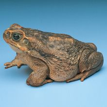 Giant Toad, Living, Pack of 3