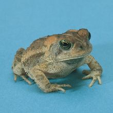 Small Toad, Living, Pack of 3
