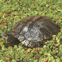 Turtle (Chrysemys sp. or Trachemys sp.), Living, Large, 8-10