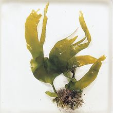 Living Seaweed Set (our choice of 6 genera)