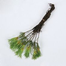 Pine Seedling, Living, Pack of 7